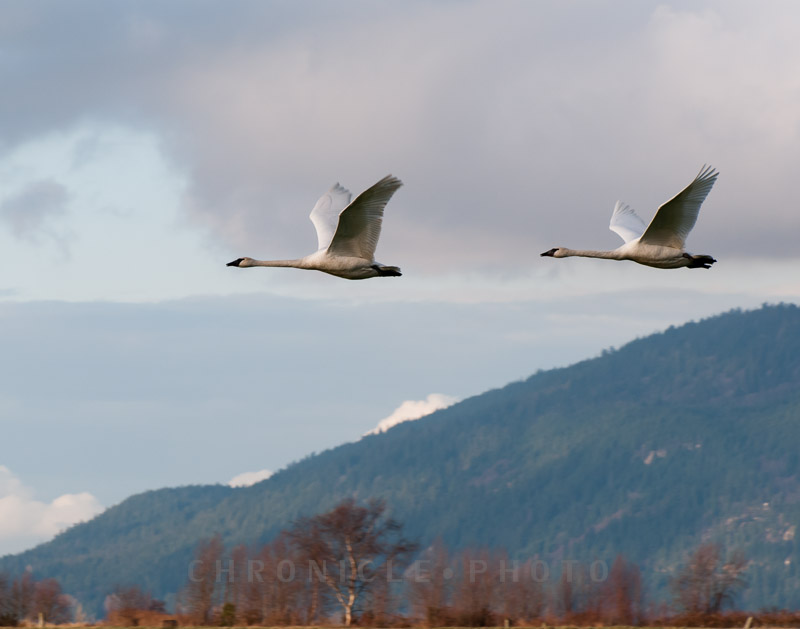 Migrating Swans, Fir Island, 2010